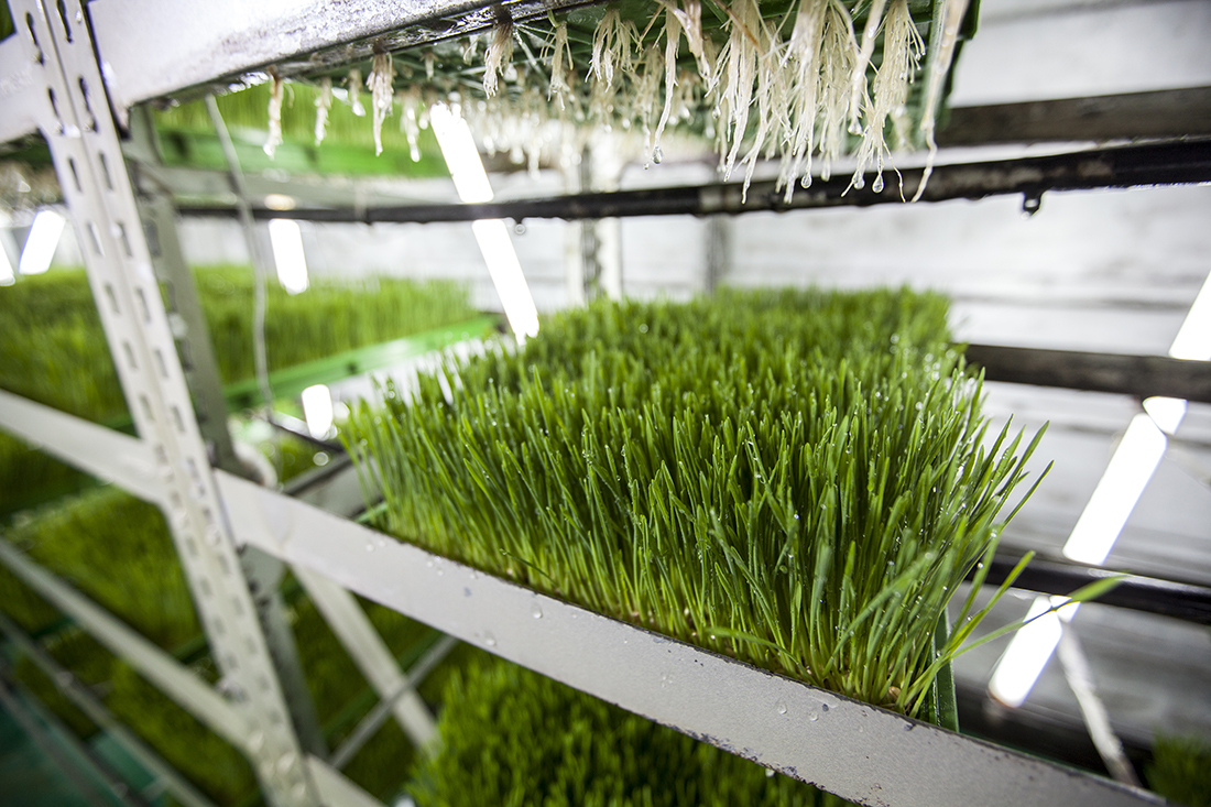 wheatgrass manufacturing
